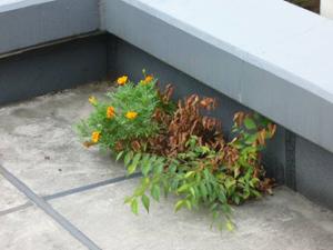 屋上雑草2